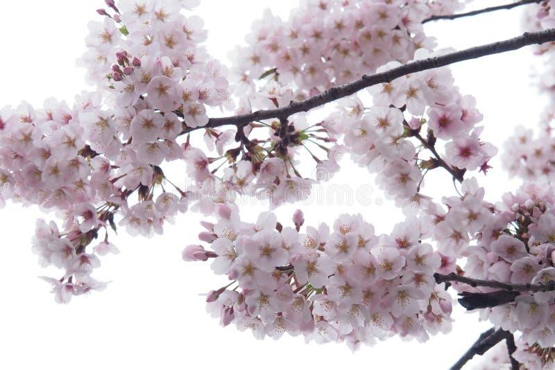 Sakura flowers. stock image