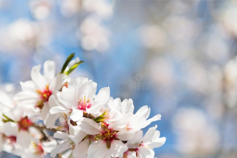 Beautiful spring floral background with blossoming almond branches, bokeh, blurred background and texture, space for your text royalty free stock photo