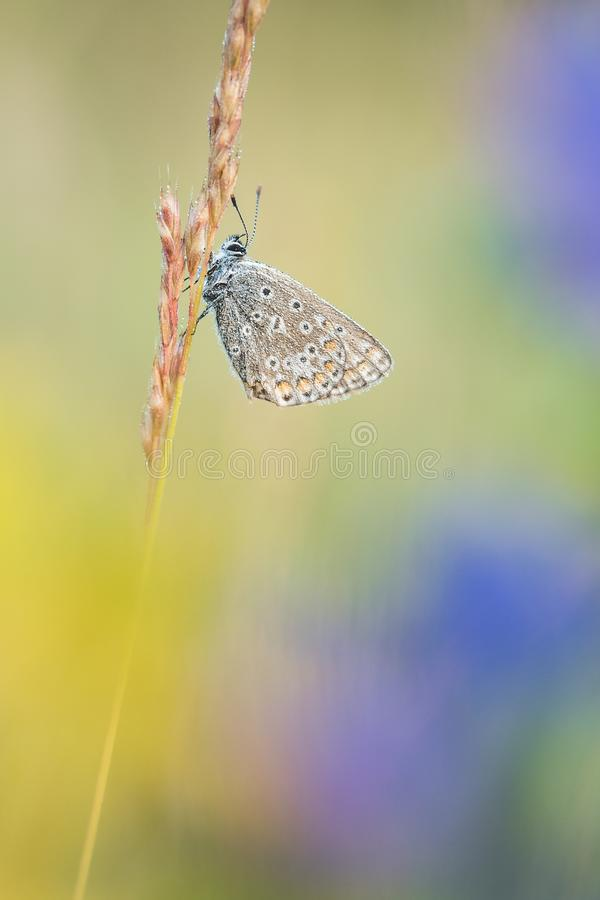 Beautiful nature scene with butterfly Common blue Polyommatus icarus. stock photography