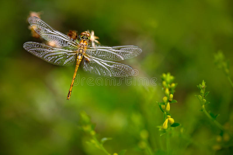 Beautiful nature scene with butterfly Common Darter, Sympetrum striolatum. Macro picture of dragonfly on the leave. Dragonfly in stock photos
