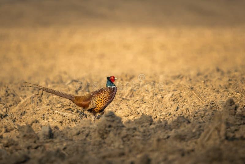 Common Pheasant Phasianus colchicus in the nature habitat. stock photos