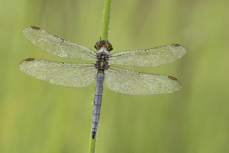 Macro shot of dragonfly Keeled skimmer Orthetrum coerulescens on the grass. stock photo
