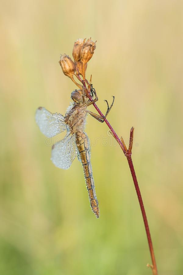 Beautiful nature scene with dragonfly Keeled skimmer Orthetrum coerulescens. royalty free stock photography