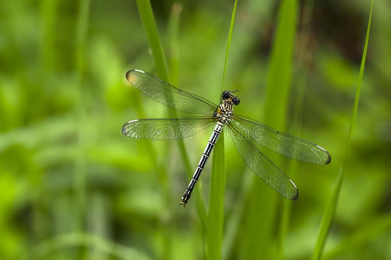 Beautiful nature scene dragonfly. Showing of eyes and wings detail stock images