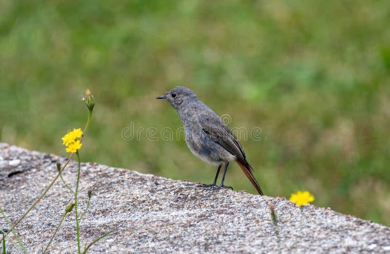 Beautiful nature scene with European black redstart Phoenicurus ochruros royalty free stock photography