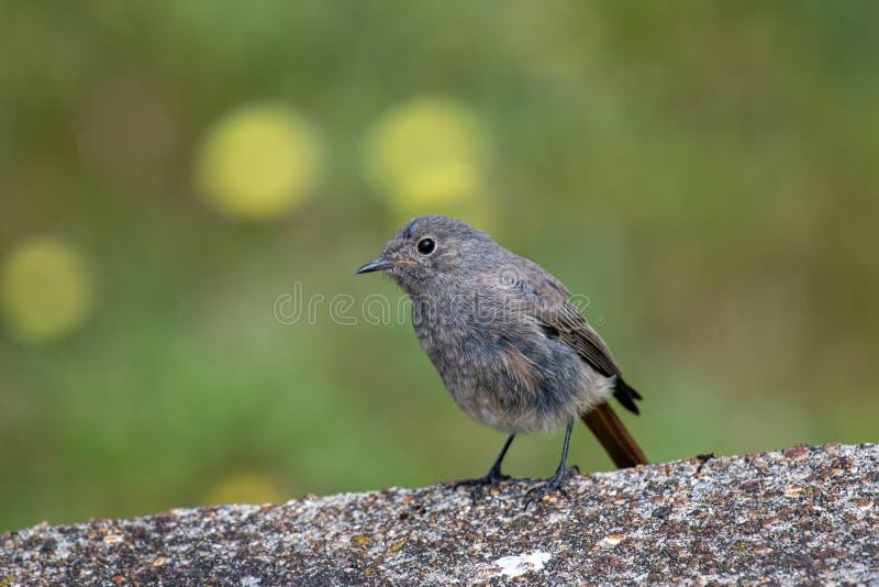 Beautiful nature scene with European black redstart Phoenicurus ochruros stock photos