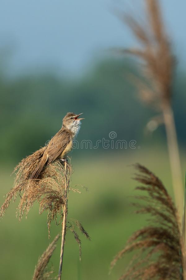 Great reed warbler Acrocephalus arundinaceus. Beautiful nature scene with Great reed warbler Acrocephalus arundinaceus. Wildlife shot of Great reed warbler stock photo