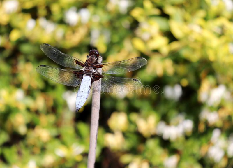 Beautiful nature scene with macro picture of dragonfly on nature habitat.Insects concept. stock images