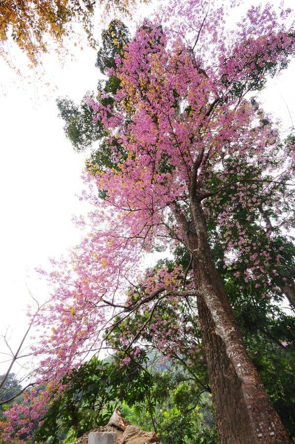 Beautiful nature scene of pink cherry blossom stock photo
