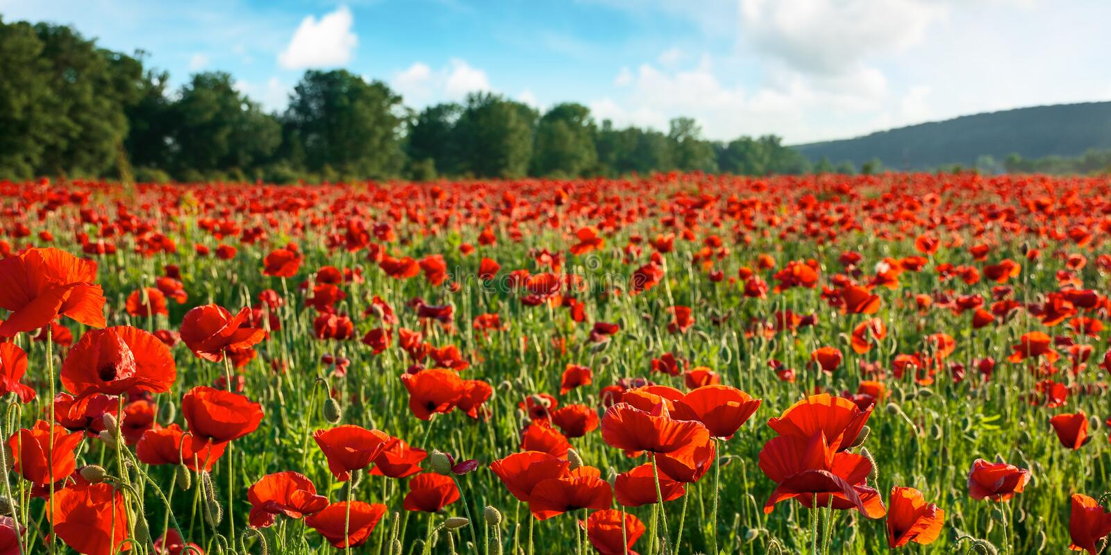 Beautiful nature scenery in summer afternoon. Red poppy flower field in the mountains. beautiful nature scenery in summer afternoon stock photo