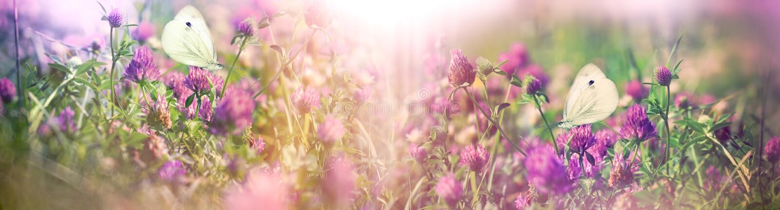 Beautiful nature in spring - white butterflies on flowering clover royalty free stock images