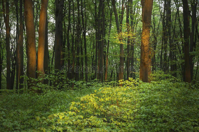 Beautiful nature at sunset in the misty spring forest with sun royalty free stock images