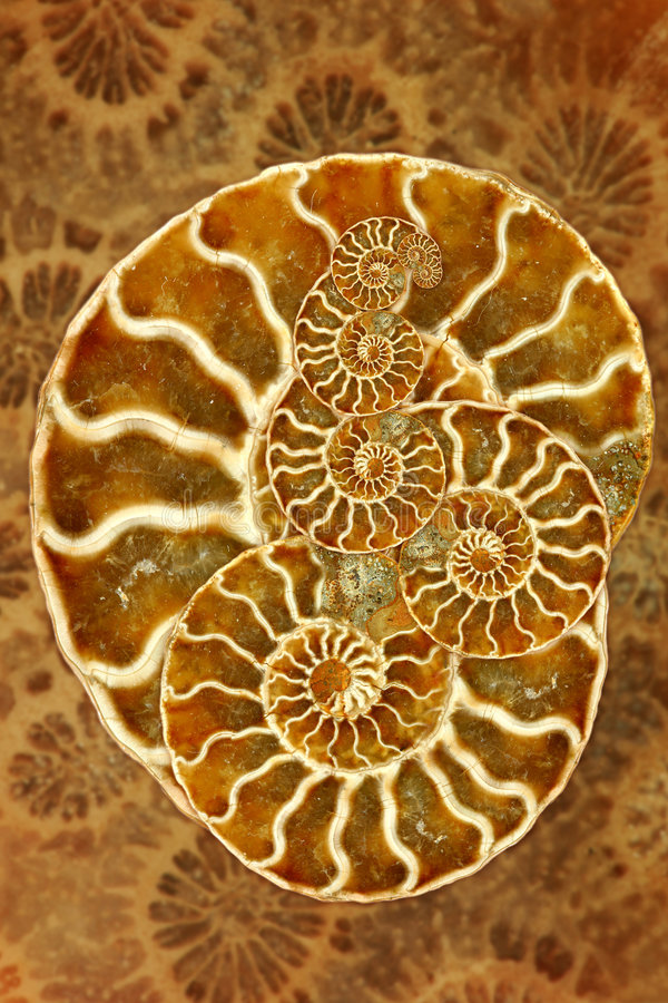 Download Beautiful Nautilus stock image. Image of marine, chambered - 5365797