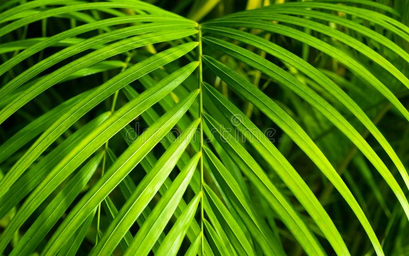 Beautiful Neanthe Bella Palm Royalty Free Stock Images