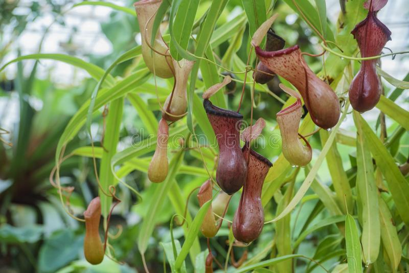 The beautiful Nepenthes. Inside the Conservatory of Flowers, San Francisco, California royalty free stock photography