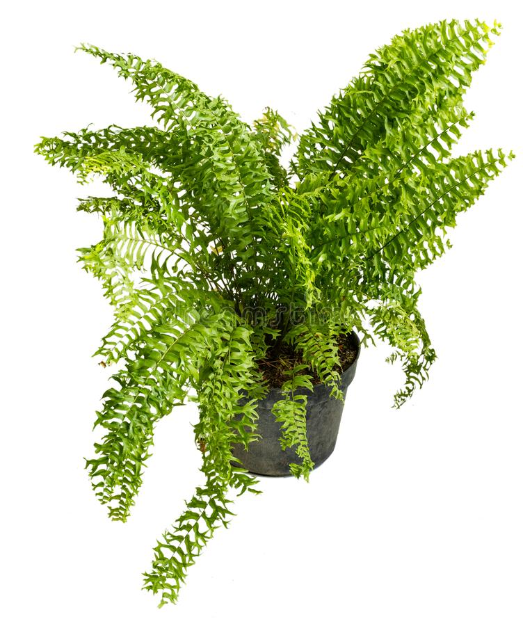 Beautiful Nephrolepis Exaltata plants in pots with attractive leaf shapes. On a isolated background stock photo