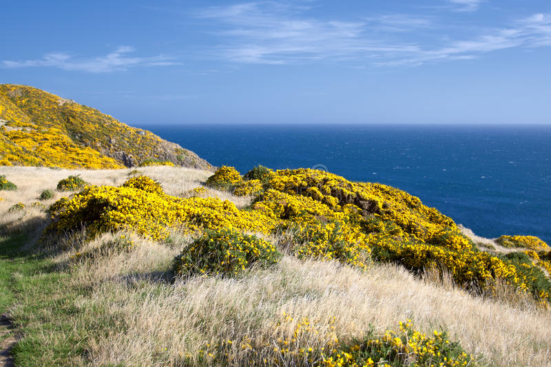 Beautiful New Zealand landscape. Mountains covered by yellow flowers (Gorse - Ulex europaeus). East Harbour Regional Park, Wellington royalty free stock photos