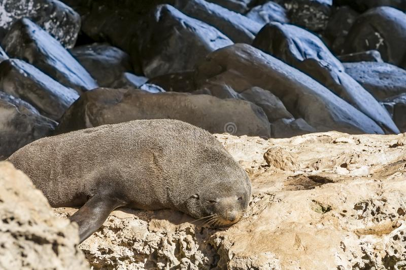A beautiful New Zealand seal in the sun near the Admirals Arch, Kangaroo Island, Southern Australia stock photography