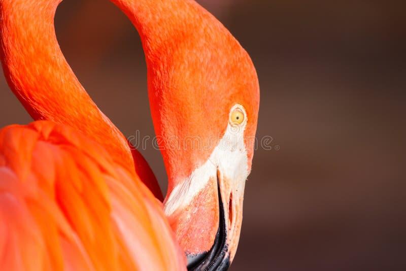 Beautiful nice colored detail flamingo. Water bird royalty free stock photos