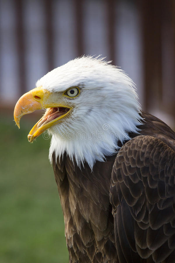 Beautiful north american bald eagle royalty free stock photography
