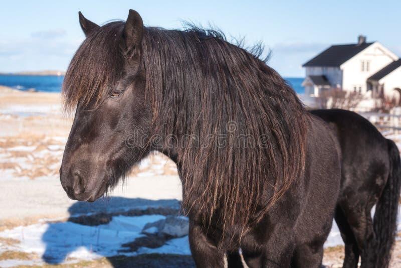 Beautiful norwegian horse, breed Dole Gudbrandsdal on a farm, winter Lofoten, Norway royalty free stock image