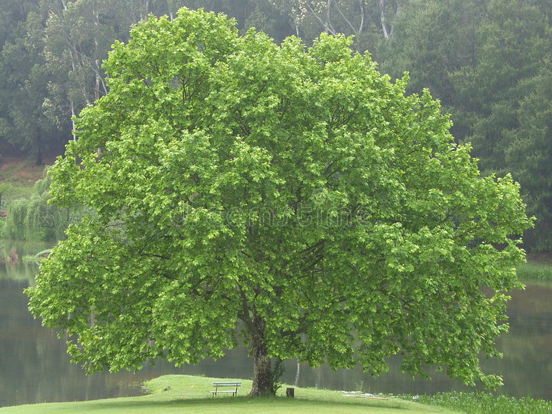 BEAUTIFUL OAK TREE stock photos