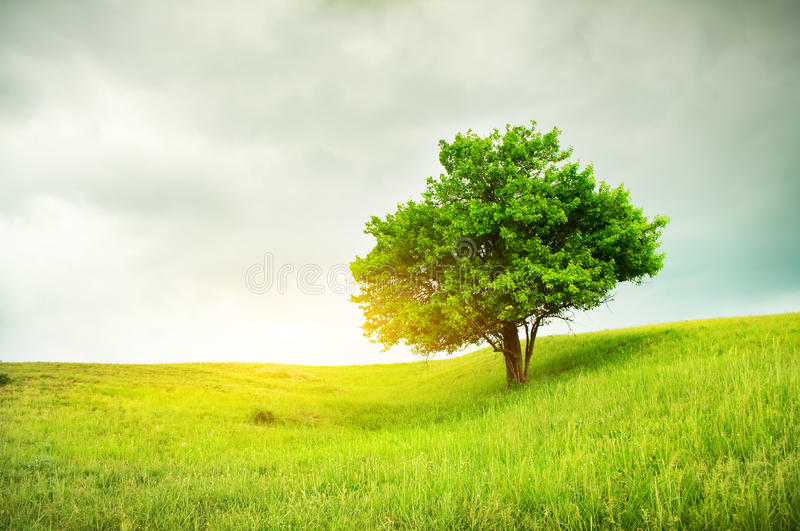 Beautiful oak tree on green field. Nature composition royalty free stock images