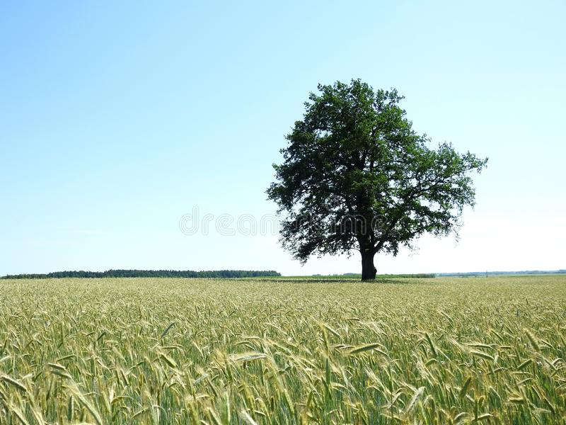 Oak tree and rye field, Lithuania stock images