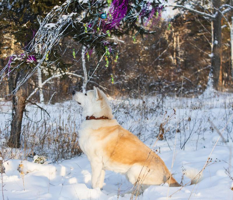 A beautiful obedient Japanese Akita Inu dog sits near a Christmas tree decorated with toys and tinsel in the forest among trees. A beautiful obedient Japanese royalty free stock photos