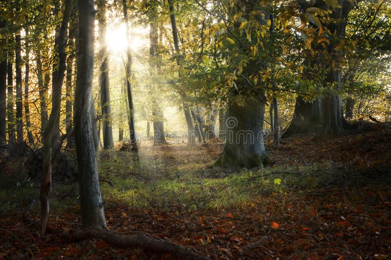 Beautiful old forest in autumn with sunrays, nature background. Selected focus stock photo