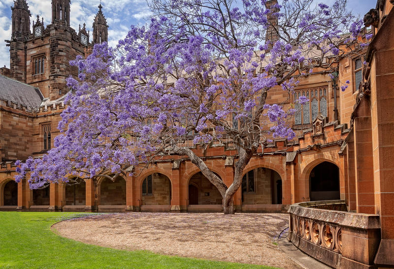 Beautiful old Jacaranda tree at Sydney University Quadrangle. Sydney, Australia -October 31, 2015: The purple Jacaranda tree in bloom is softening the Gothic royalty free stock photography