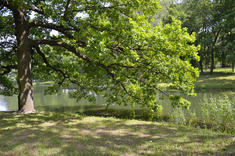 Beautiful old oak near lake with ducks and gulls swimming in water stock image
