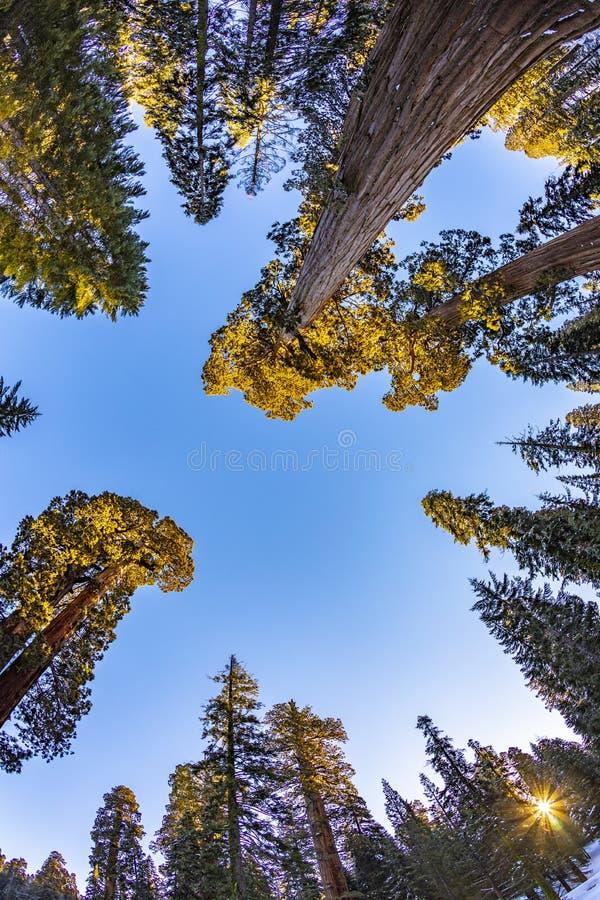 Beautiful old sequoia trees stock image