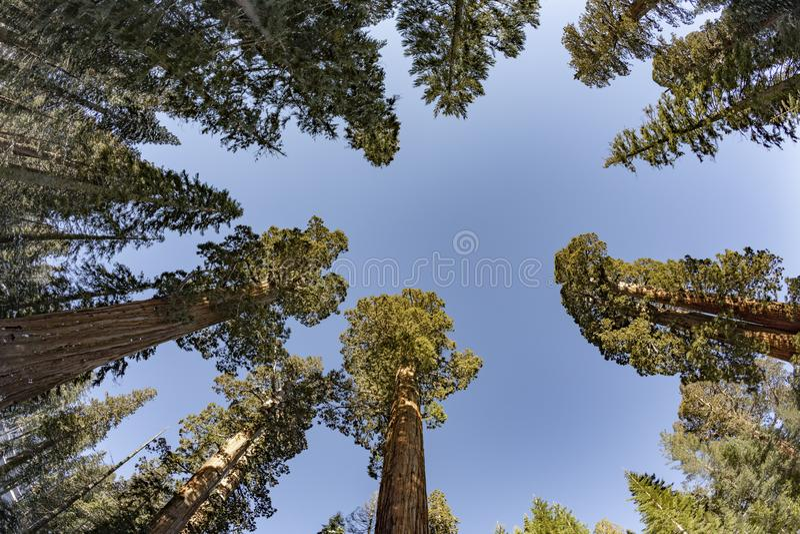 Beautiful old sequoia trees stock photos