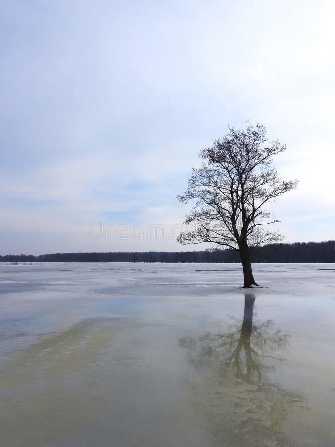 Old tree in flood field in winter , Lithuania royalty free stock photography
