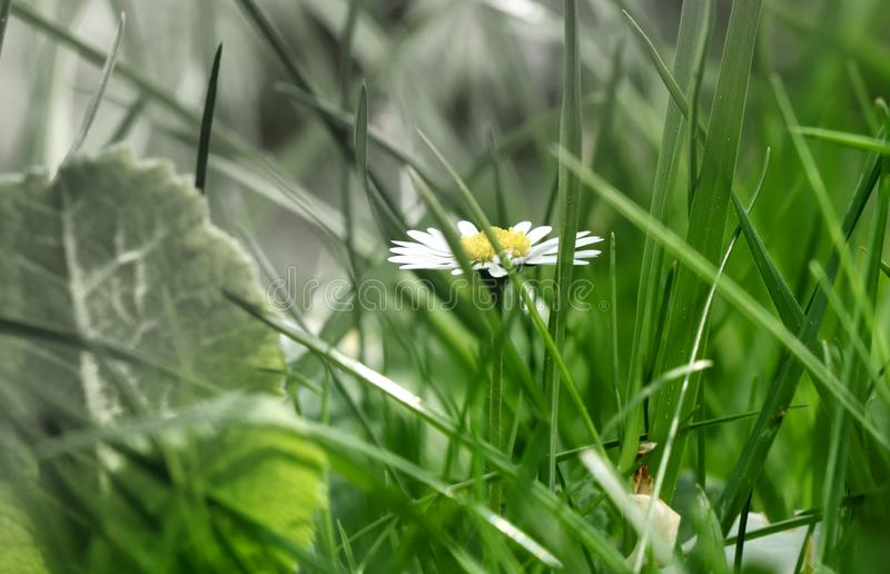 A beautiful one daisy in the middle grassland. A part of picture is in black and white and second part is in colour. royalty free stock photography