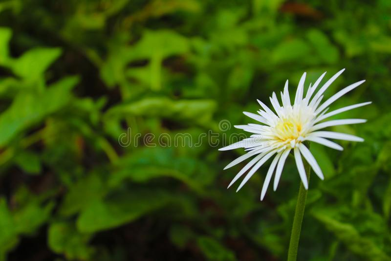 Beautiful natural flower in pot. Beautiful one flower in flower pot stock photography