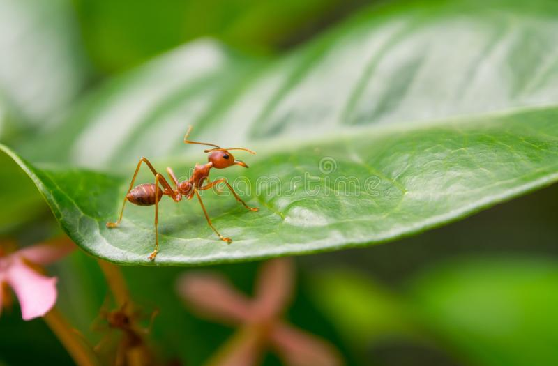 One red ant macro photography on green leaf. stock image