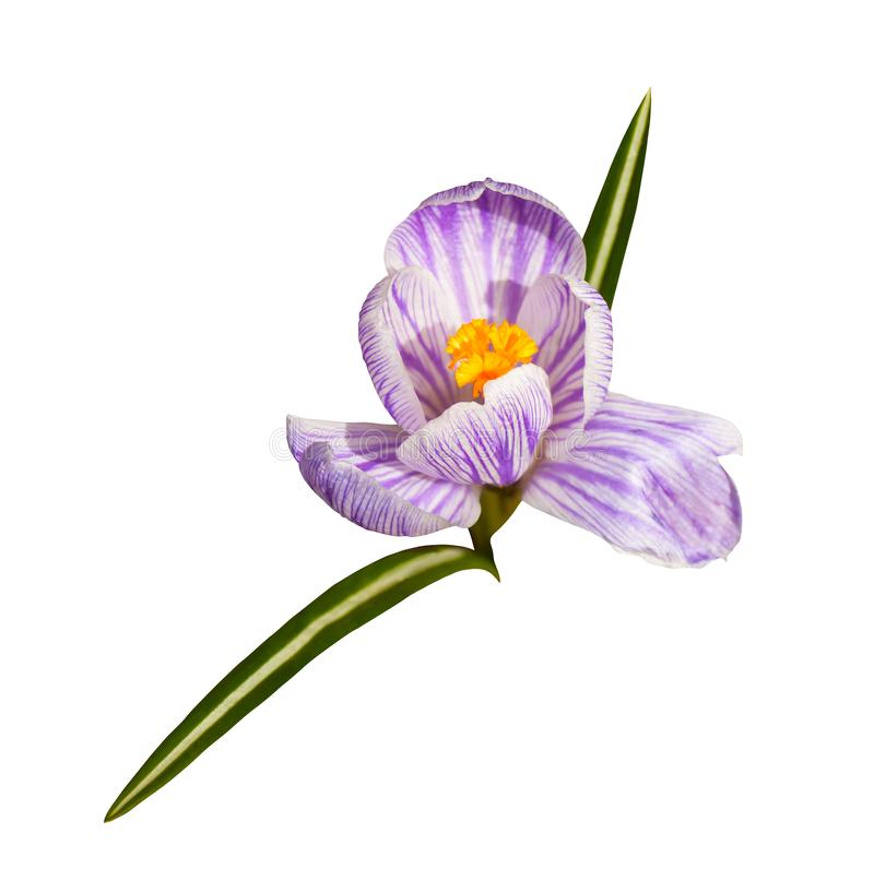 Beautiful one white violet crocus flower on a white background. stock photo