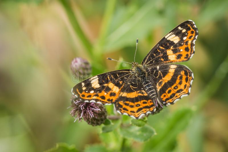 Beautiful orange and black map butterfly royalty free stock photos