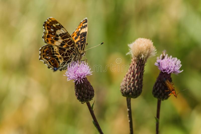 Beautiful orange and black map butterfly on thistle stock image