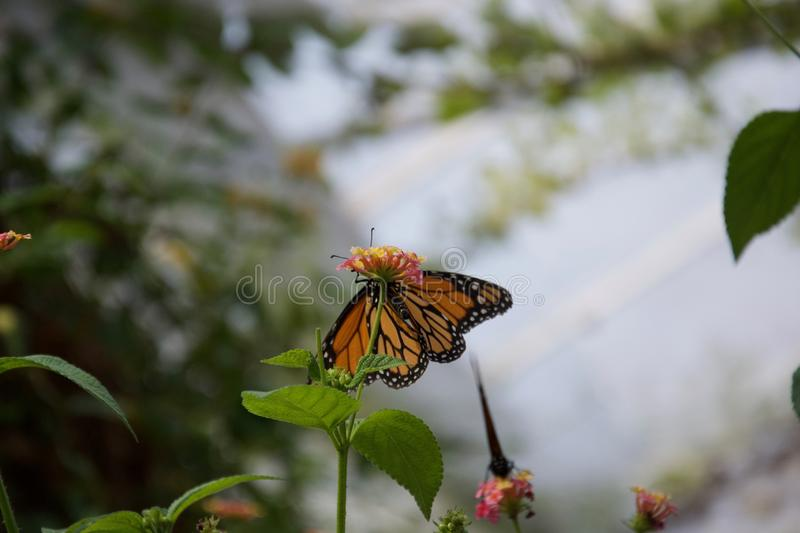 Orange, yellow and black butterfly sitting on a small flower. A beautiful orange, black and yellow butterly with wings open, sitting on a small flower royalty free stock images