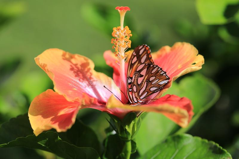 Orange butterfly on Hibiscus flower stock image