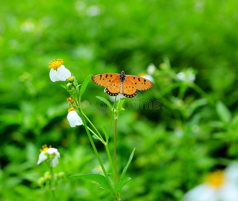 A beautiful orange butterfly. Resting on a white flower stock image