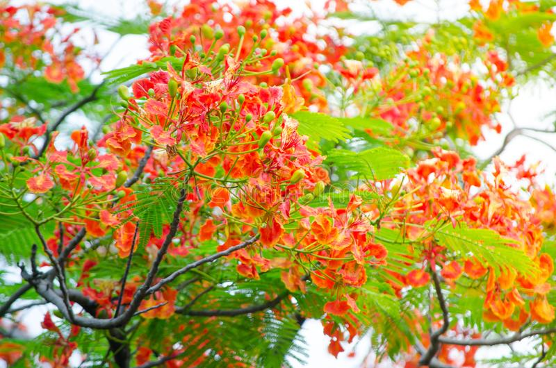 Beautiful orange Caesalpinia pulcherrima flower in a spring season at a botanical garden. Beautiful orange Caesalpinia pulcherrima flower is a species of royalty free stock photo