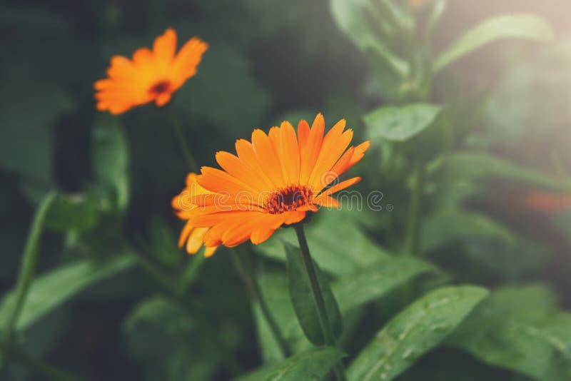 Beautiful orange calendula flower background stock photos