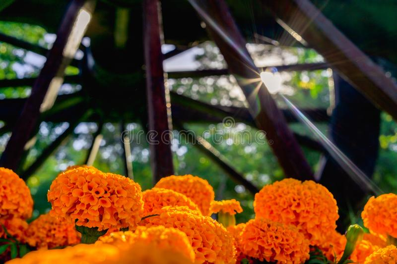 Beautiful orange calendula marigold flower in green garden with sun rays flare, summer background royalty free stock photography