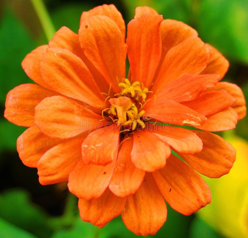 Beautiful orange Calendula officinalis flower close up. stock photo