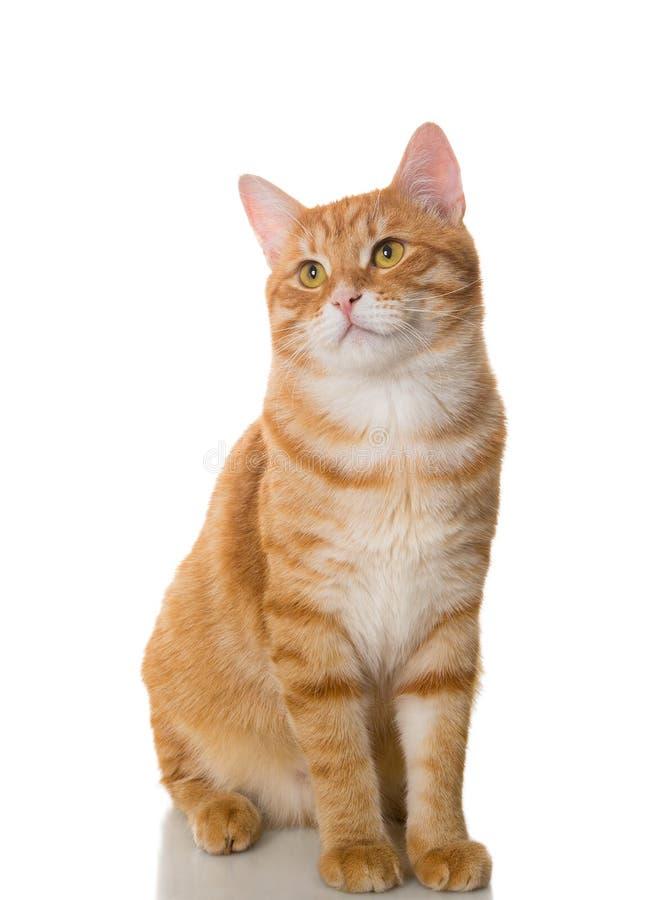 Beautiful orange cat. Isolated on a white background stock images