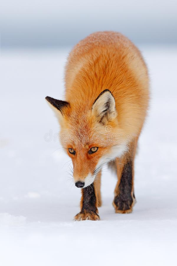 Beautiful orange coat animal nature. Wildlife Europe. Detail close-up portrait of nice fox. Red fox in white snow. Cold winter wit. Red fox in white snow. Cold royalty free stock photos